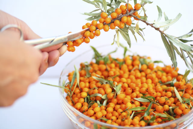 The harvest of seabuckthorn (Hippophae rhamnoides). This product contain the plenty of vitamin C. The hand with the scissors cuts the buckthorn.